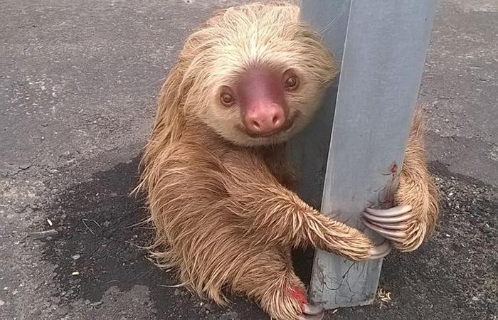Sloth ecuador