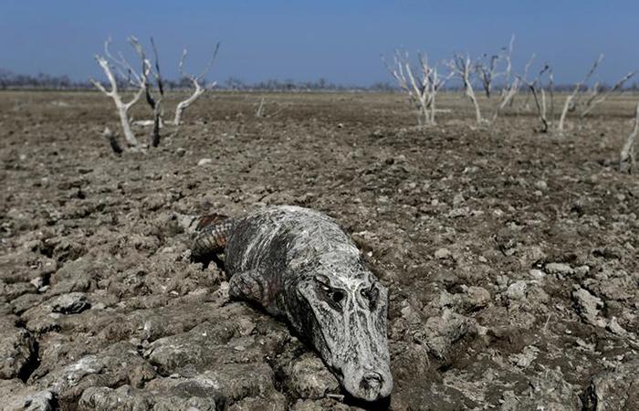 Carcass of a yacare caiman