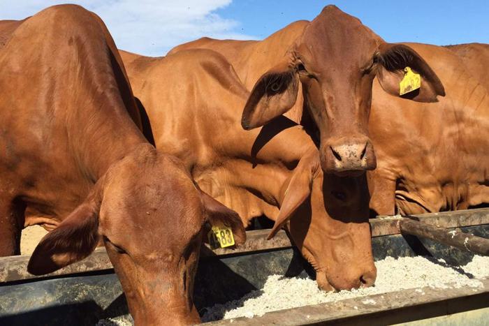 Western cows