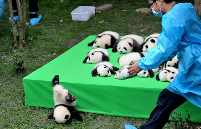 A giant panda cub falls from the stage