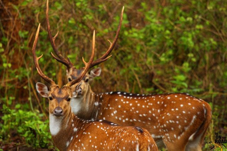 deer india