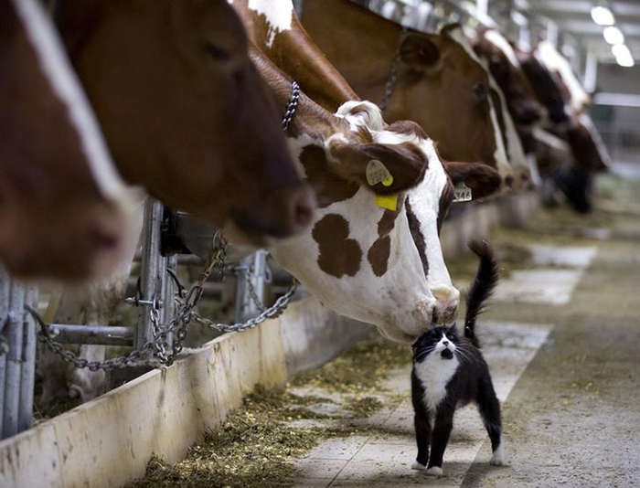 cows nuzzle a barn cat