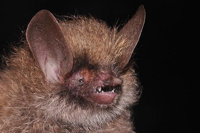 woolly headed bat
