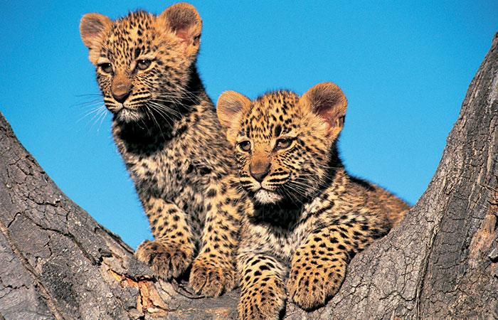 Leopard Cube