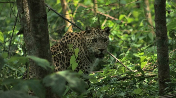 Leopard Dooars