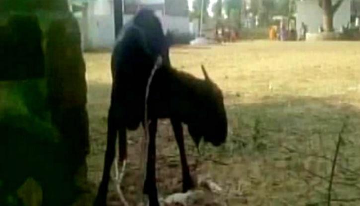 Chhattisgarh Police Arrests Goat For Trespassing