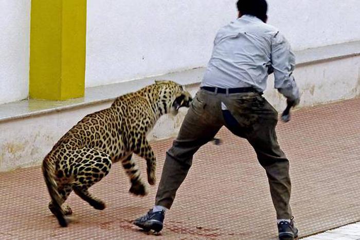 Man Willingly Gets Bitten By Leopard So That It Doesn