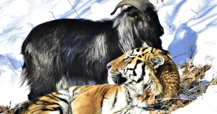 Lawyer Says That A Tiger & Goat Living In The Same Cage At A Zoo Are Promoting Gay Culture