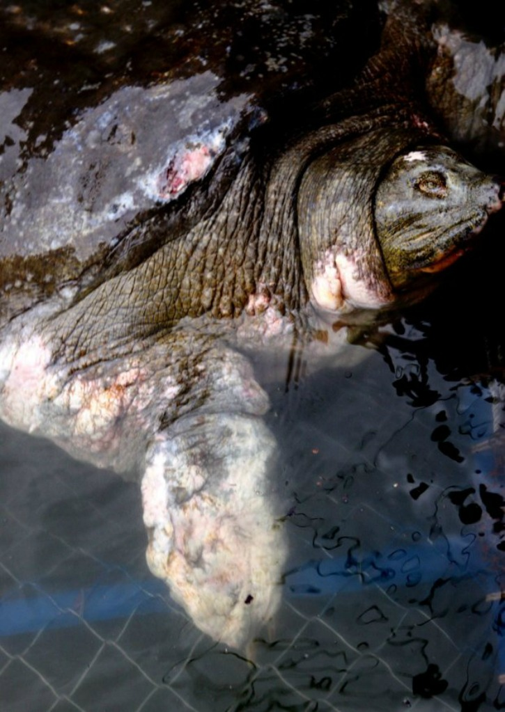 The Death Of An Endangered Yangtze Giant Softshell Turtle Leaves Just Three Remain On Earth
