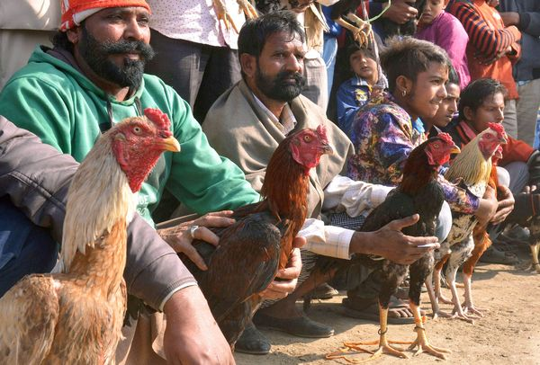 cock fighting india