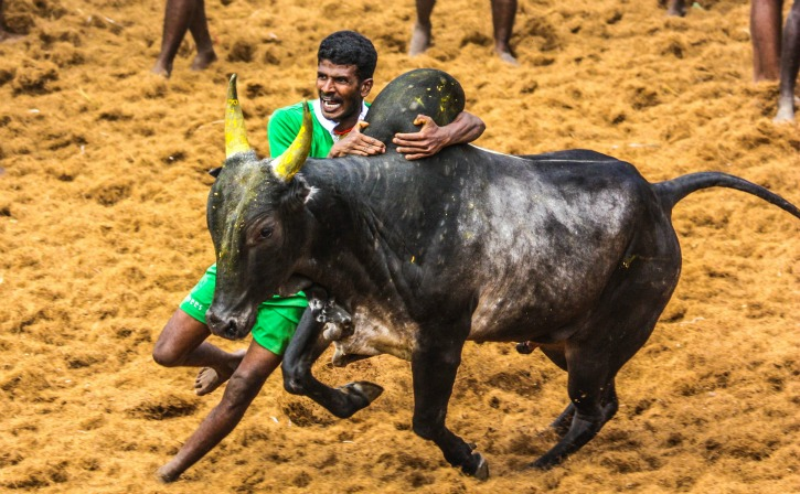 Tamil Nadu To Conduct Controversial Bull-Taming Sport