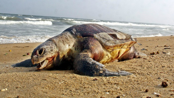 Olive Ridley Turtles were found dead on the beaches of Andhra Pradesh