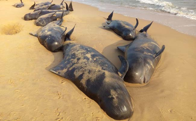 More Than 100 Whales Wash Up On Beaches Of Tamil Nadu, 20 Die And Rest Struggling To Stay Alive