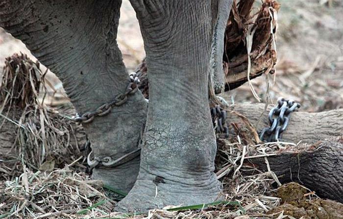 Worlds Unluckiest Elephant