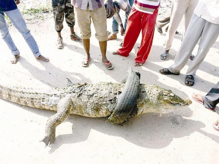 crocodile india