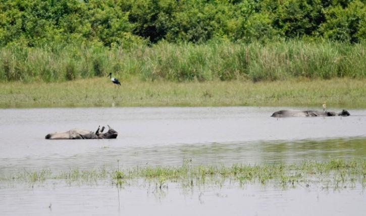 Rhino in water