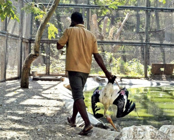 Painted Stork died for lack of water