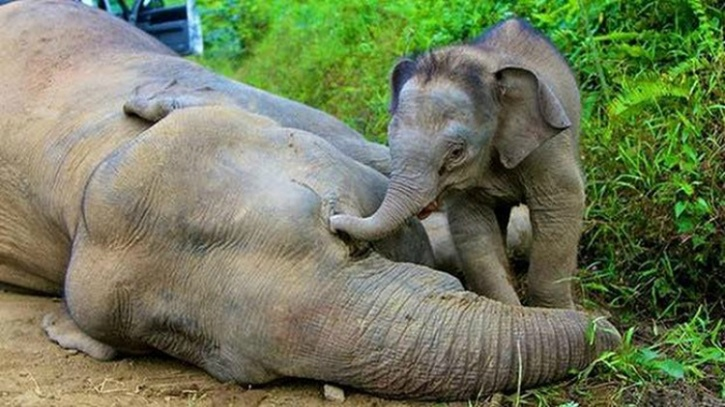 Elephant calf with dead mother