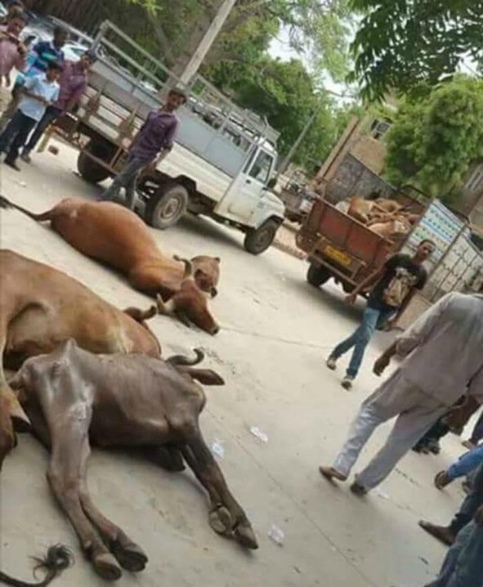 Gujarat Cow