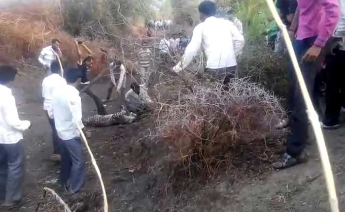 Scared That It Would Eat Their Children, Villagers Beat Leopard To Death
