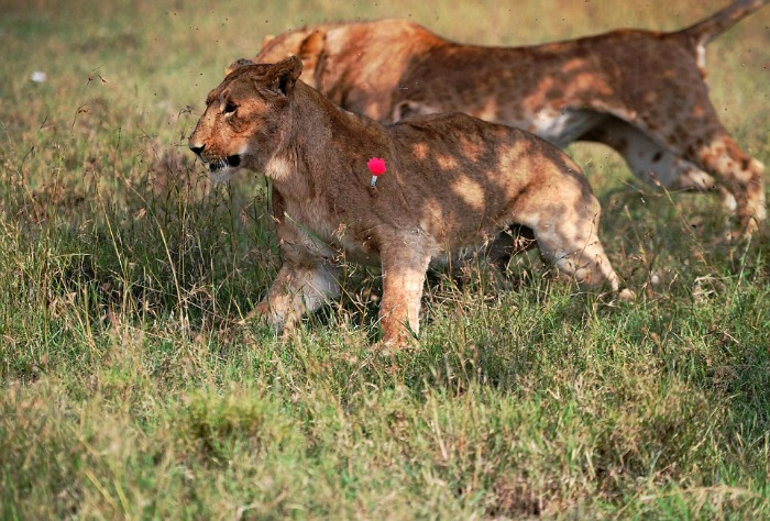 lioness hit by a tranquilizer dart