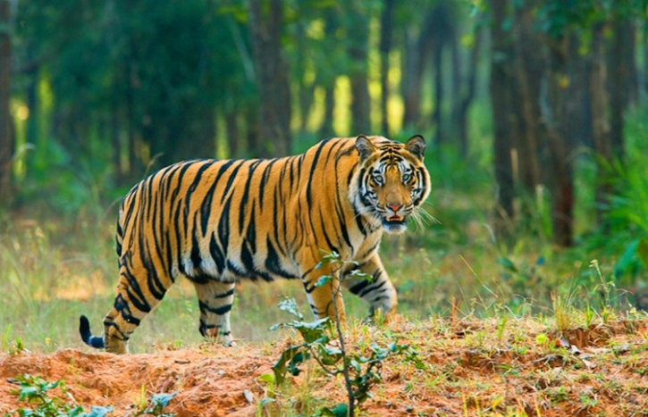 Tiger in Sunderban