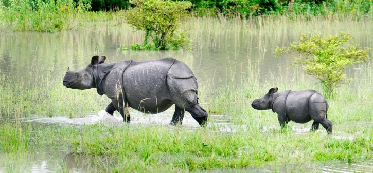 As Assam continues to reel under the devastating impact of floods, the Brahmaputra river has submerged 60 per cent of the rhino habitat Pobitora Wildlife Sanctuary located in Morigaon district near Guwahati, Assam.