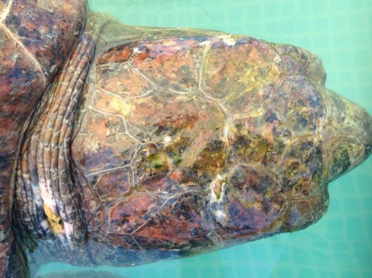 turtle lebanon animals lebanon
