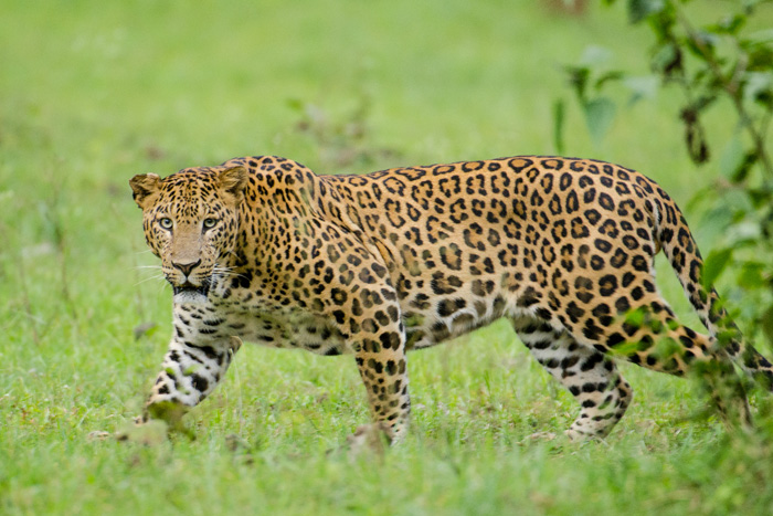 Where Are Our Leopards
