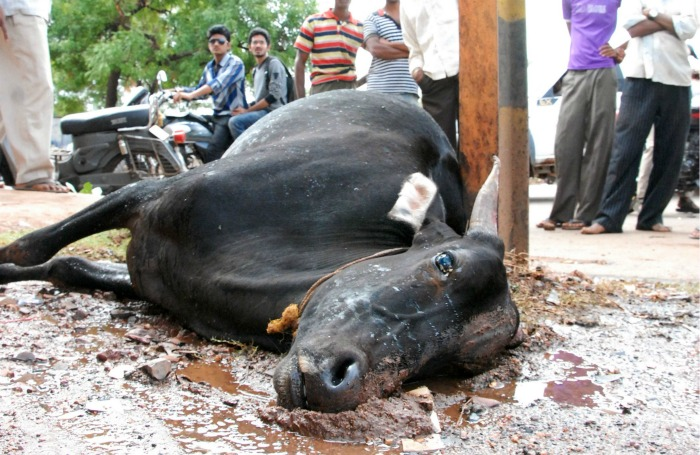11 Cows Killed After Truck Overturns, Mob Goes On Rampage
