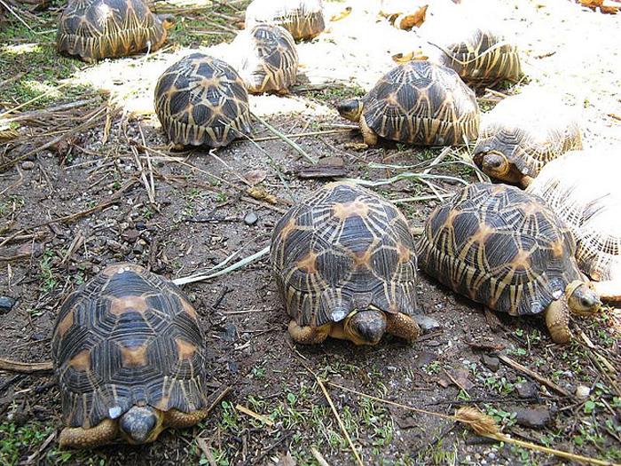 Chennai Tortoise Loses Leg, Gets Wheel Implant