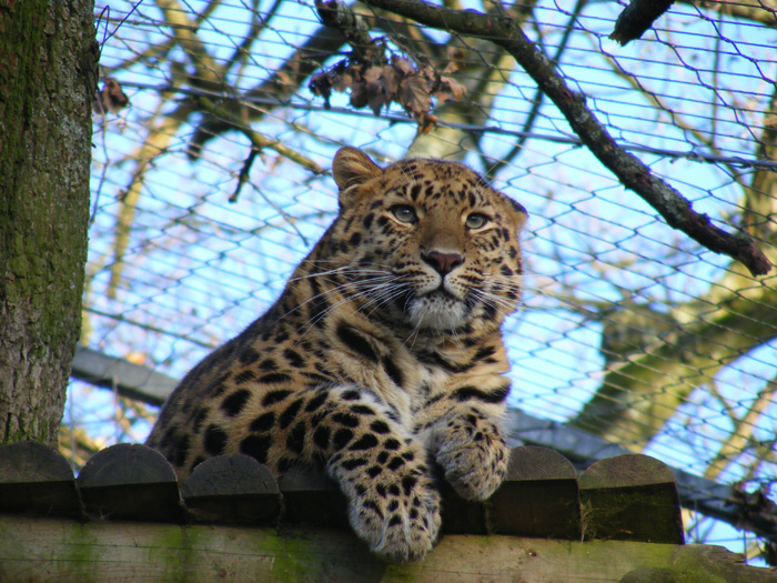 Tiger census springs up leopard surprise