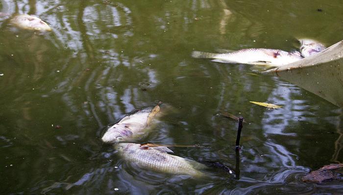 After Ulsoor, Hundreds Of Fish Die In Hebbal Lake