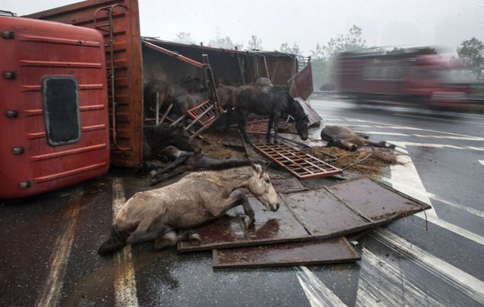 Six Race Horses Killed In Tamil Nadu After A Specially Designed Vehicle To Transport Them Overturned