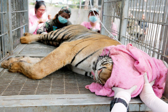 74 Tigers Died In January 2016