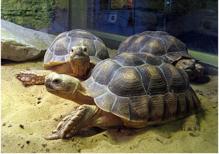 Chennai Tortoise Loses Leg