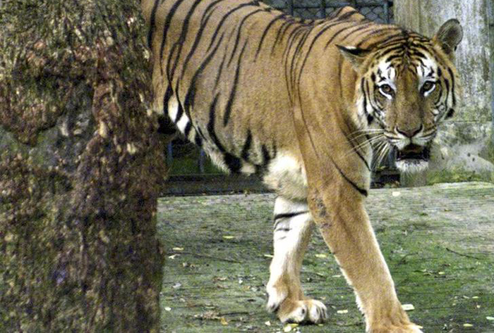 Dog Takes On Tiger Near Dudhwa, Sacrifices Itself For Master