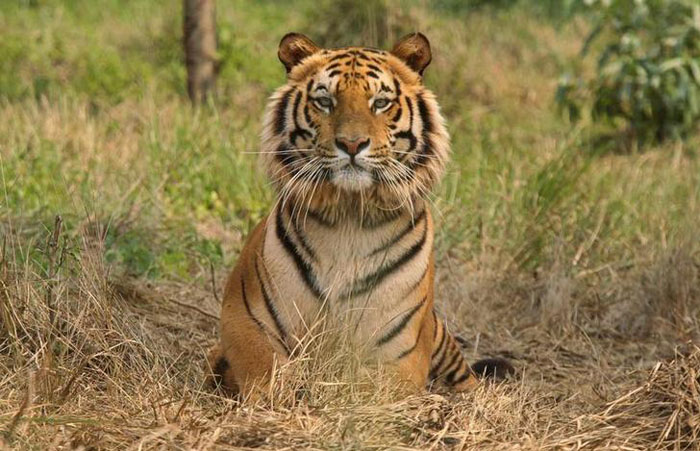 Tiger Population In Assam Manas National Park Go Up 50 Percent In The Past Three Years