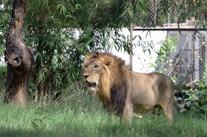 Lions Are Man Eaters