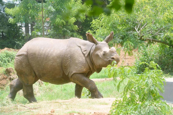 Rhino Poaching Incidents In Assam Are On The Rise But Where Are The Rhino Horns Going?