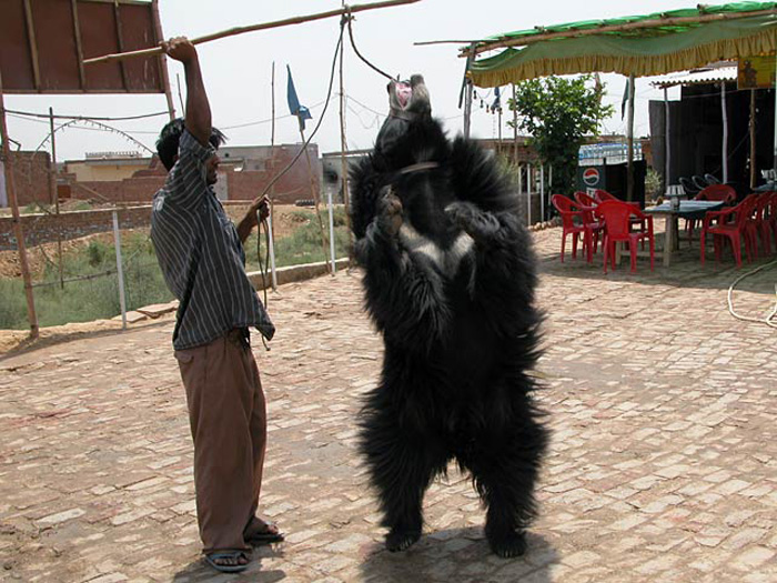 Root canal dental surgeries performed on 19 sloth bears at Agra