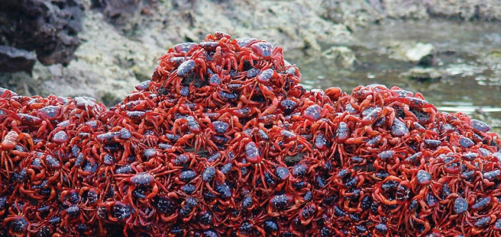 Christmas red island crabs