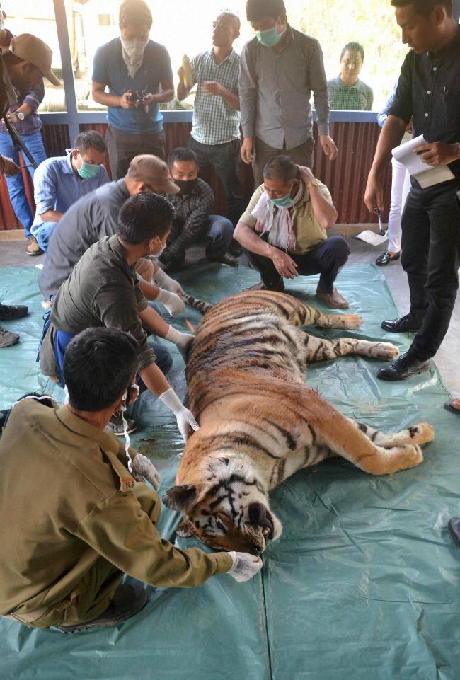 Tiger killed