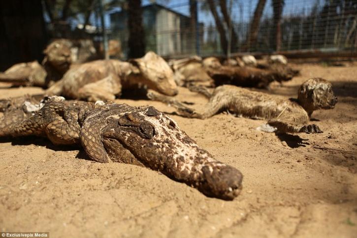 Gaza Animals