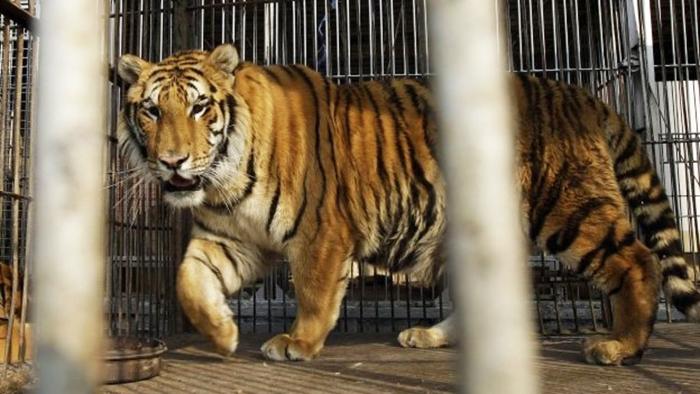 Man-Eater Tiger Sentenced To