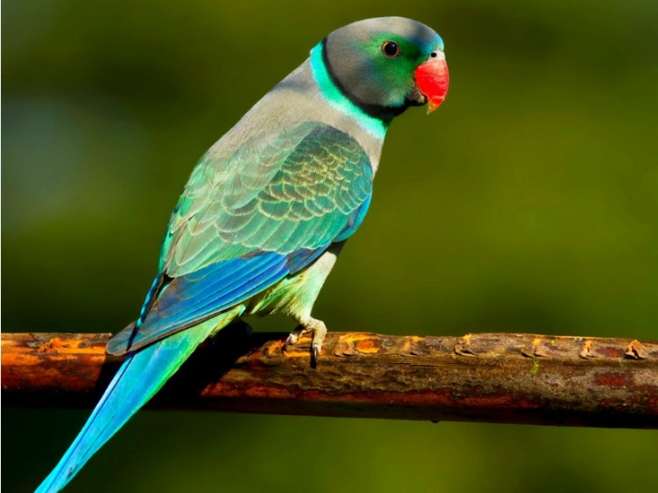 Malabar Parakeet
