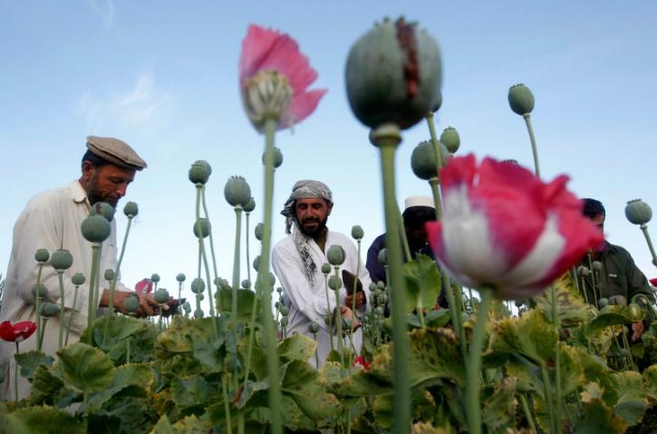 Opium farming