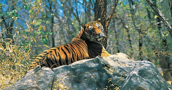 Tiger in Western Ghats