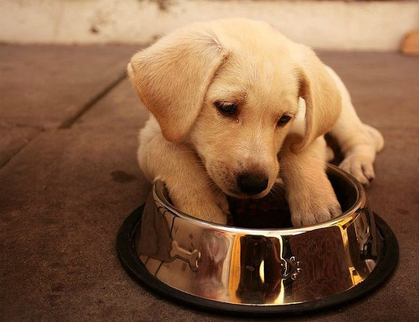 Labrador Food