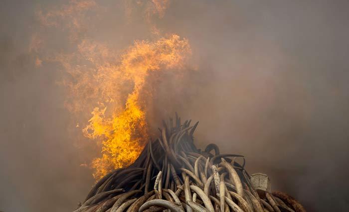 Kenya burns ivory worth $105 million in message to poachers